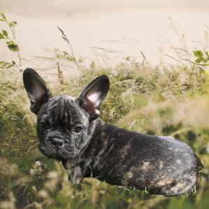 Black Brindle French Bulldog