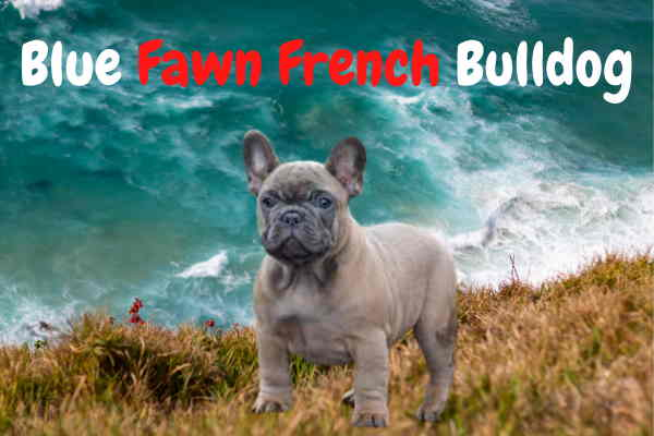 Blue Fawn French Bulldog:Price & Types