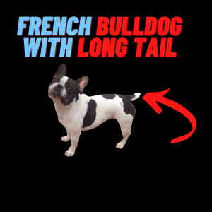 french bulldog with long tail