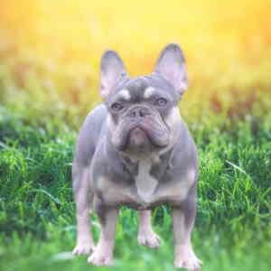 lilac and tan french bulldog