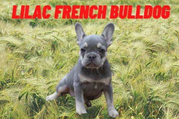 Lilac French Bulldog: Price,Eye Color & DNA (In-Depth Details)
