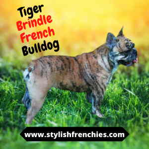 tiger brindle french bulldog